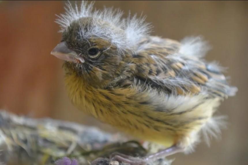 Кормление и уход за птенцами и самкой канарейки